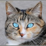 Blue Eyed Zen Cats